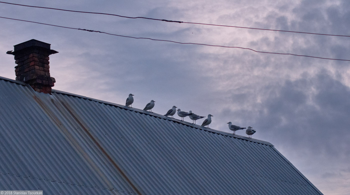 Пудож, Карелия, республика Карелия, чайки